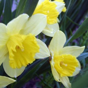 yellow daffodils 2007